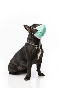 Hond in een medisch masker. franse bulldog. coronavirus