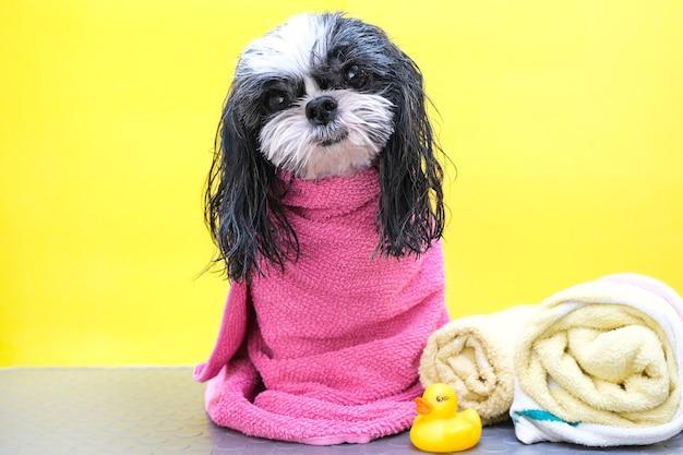 Hond in een trimsalon; hond na het douchen, gewikkeld in een handdoek. huisdier krijgt schoonheidsbehandelingen in een schoonheidssalon voor honden. gele achtergrond