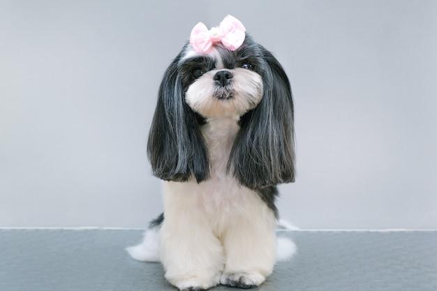 Hond in een trimsalon; kapsel, kam, haardroger. huisdier krijgt schoonheidsbehandelingen in een schoonheidssalon voor honden. grijze achtergrond
