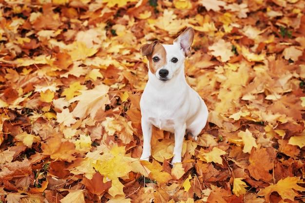 Hond jack russell in het park in de herfst, hond voor de seizoensgebonden kalender met dieren