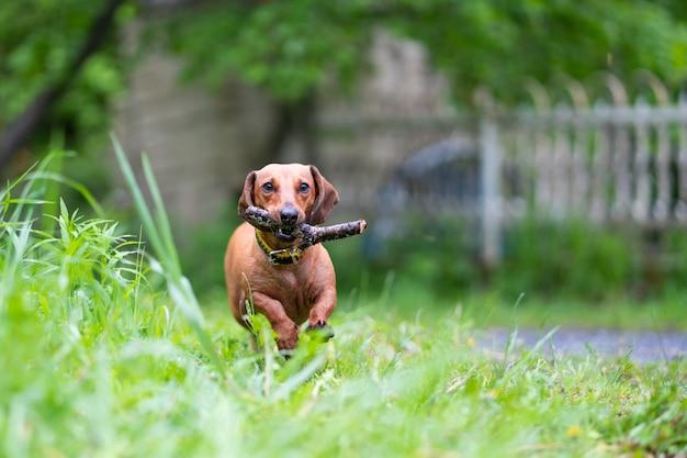 Hond loopt met stok