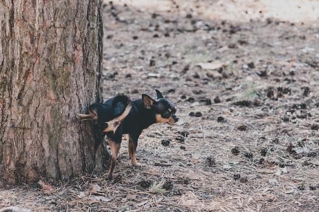 Hond loopt op straat. chihuahua hond voor een wandeling. chihuahua zwart, bruin en wit. schattige puppy op een wandeling. hond in de tuin of in het park goed verzorgde hond chihuahua mini korthaar