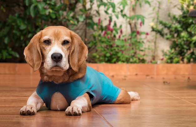 Hond met doekje na de operatie in de tuin. jonge preaty beagle met clouth in een huis.