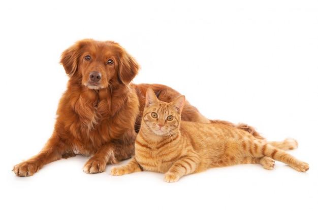 Hond met een gemberkat die op witte achtergrond wordt geïsoleerd