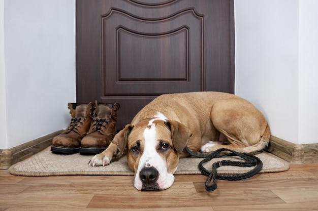 Hond met een riem die op een gang wacht. staffordshire terriër hond met een riem liggend op een deurmat in de buurt van de voordeur van het appartement.