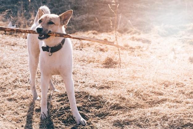 Hond met stok in tanden