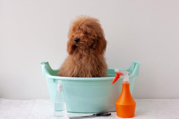 Hond miniatuur poedel roodbruin zit in bassin, er zijn haarverzorgingsproducten in de buurt. concept van het verzorgen, baden van dieren.