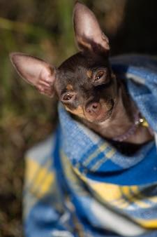 Hond onder een plaid. huisdier verwarmt onder een deken