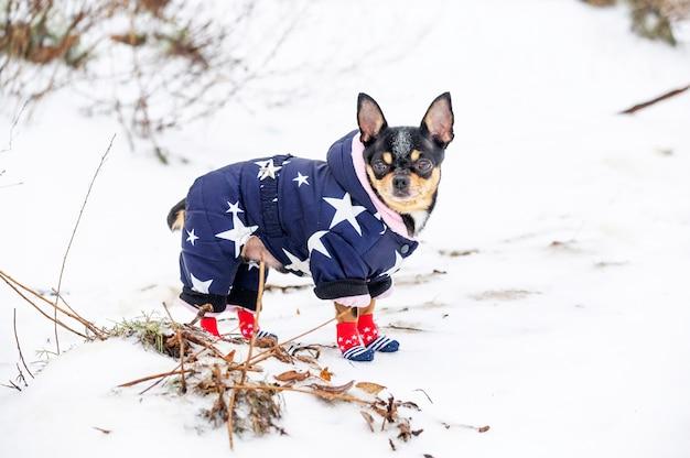Hond op een winterwandeling. chihuahua in warme kleren. chihuahua hond in winterschoenen. hond, winter