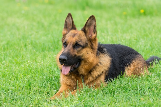 Hond op het gras