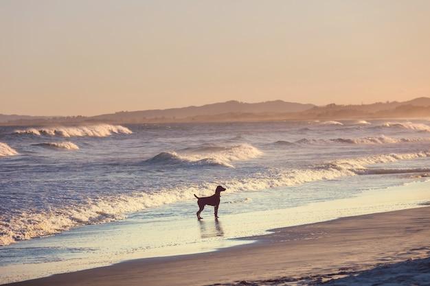 Hond op het strand in nieuw-zeeland
