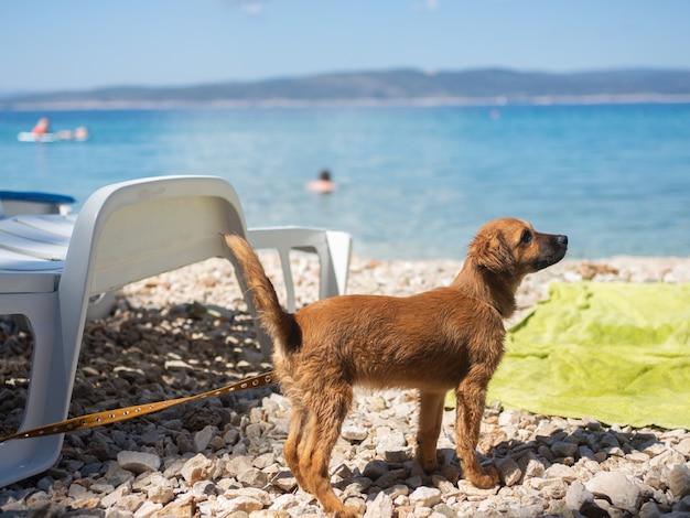 Hond op het strand van de adriatische kust Premium Foto