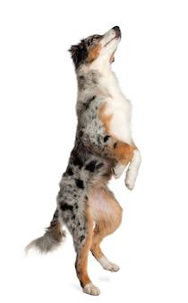 Hond, puppy australische herder