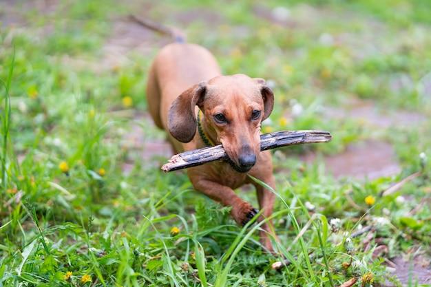 Hond rent met een stok. hondenras standaard gladharige teckel, felrode kleur, vrouwelijk.