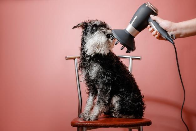 Hond schnauzer en föhn in vrouwelijke hand