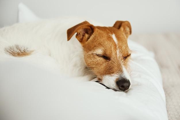Hond slaapt en rust bij het bed
