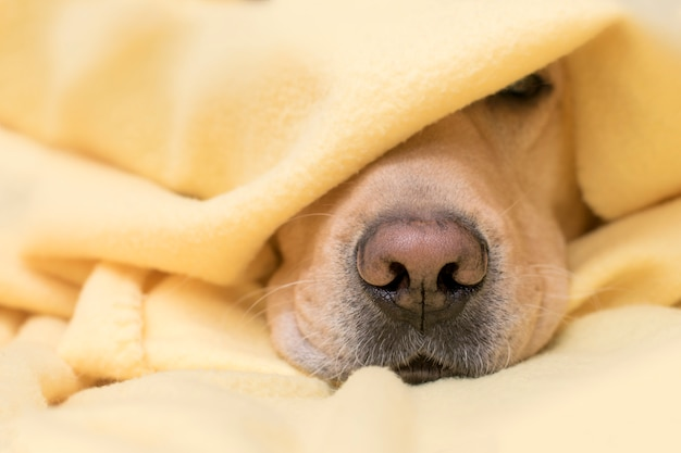 Hond slaapt onder een gele plaid. neus close-up. concept van comfort, warmte, herfst, winter.