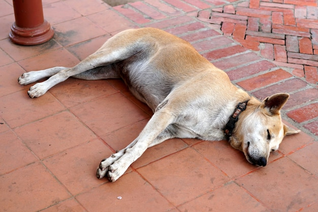 Hond slaapt op de stoep van de tempel