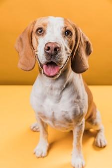Hond steekt zijn tong uit en kijkt naar fotograaf