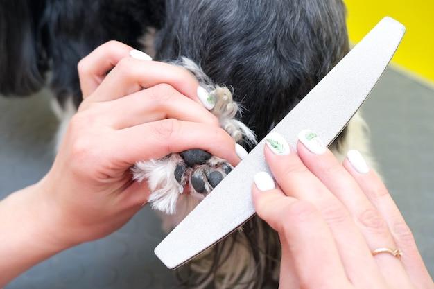 Hond trimmen. een trimmer met een nagelvijl knipt de nagels van een hond. gele achtergrond