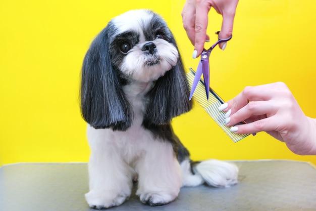 Hond trimmen. groomer met een schaar en een kam in zijn handen op de achtergrond van de hond. gele achtergrond