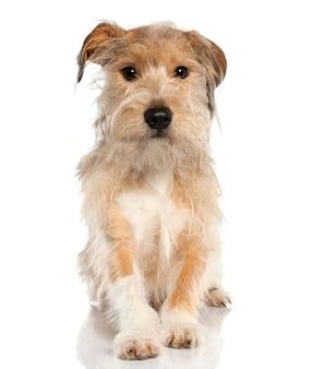 Hond van gemengd ras met een griffioen van 18 maanden oud. geïsoleerd hondportret