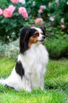 Hond van het ras papillon op het gazon in de tuin