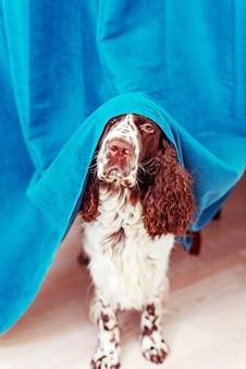 Hond verschuilt zich achter de gordijnen en is bang om naar buiten te gaan. huisdieren mentale gezondheid, overmatige emotionaliteit.