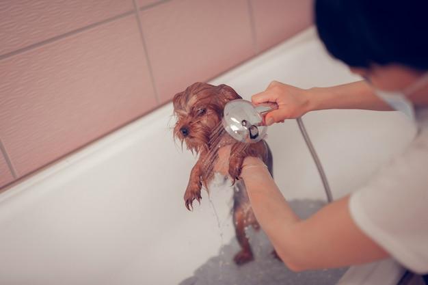 Hond voelt zich bang. schattige kleine hond voelt zich bang terwijl vrouw hem wast na het scheren