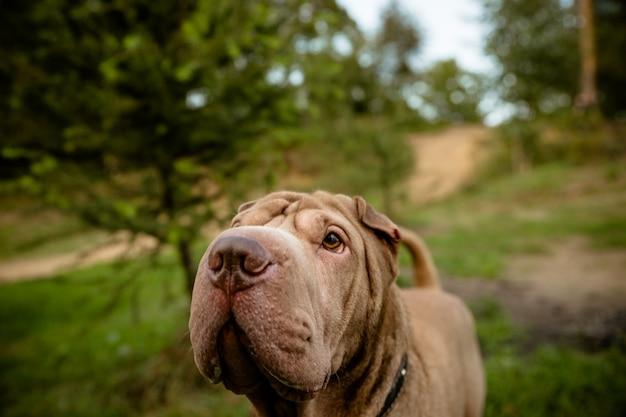 Hond wandelen in het park. rasechte shar pei-hond