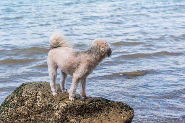 Hond zo schattig beige kleur gemengd ras met shih-tzu, pommeren en poedel op het rotsachtige strand