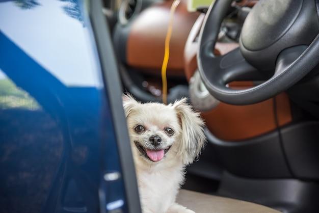 Hond zo schattig gemengd ras met shih-tzu, pomeranian en poodle zittend op autostoel