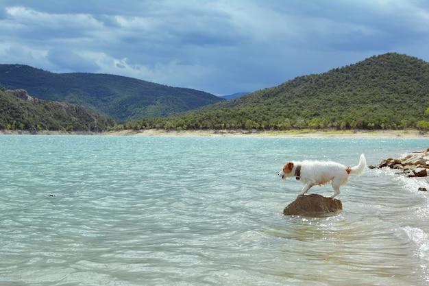 Hond zomer. jack russell gaat op vakanties bij meer of strand. spelen met een stok.