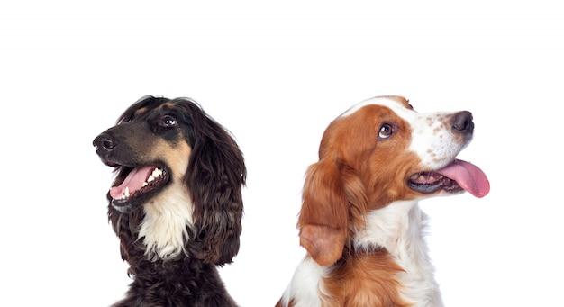 Honden die op witte achtergrond worden geïsoleerd