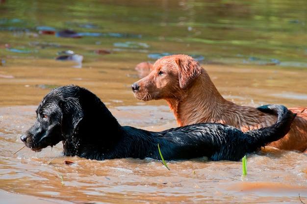 Honden in een vijver Premium Foto
