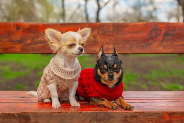 Honden in lentekleding. twee kleine chihuahuahonden op bank. leuke huisdieren buitenshuis. honden