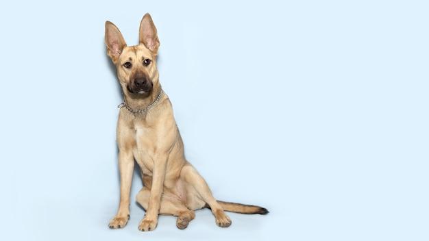 Honden met grote oren zitten op een blauwe achtergrond.