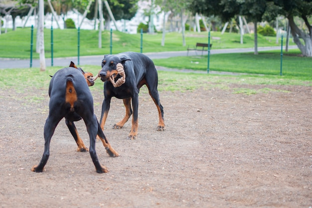 Honden van ras doberman spelen met een touw in hun snuit in het parkland