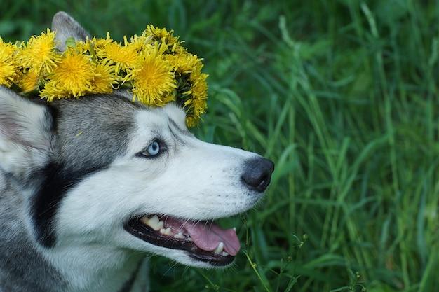 Hondengezicht huskyras met blauwe ogen en gele paardebloemen op het hoofd.