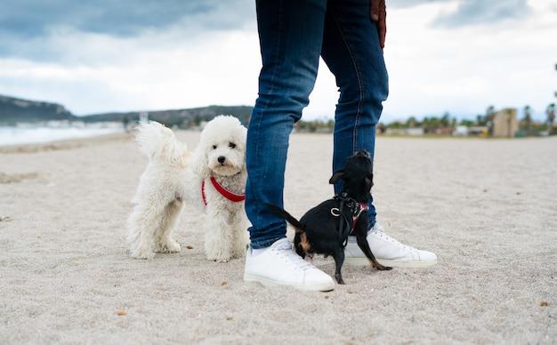 Hondenpoedel en pincher met de eigenaar die op het strand speelt