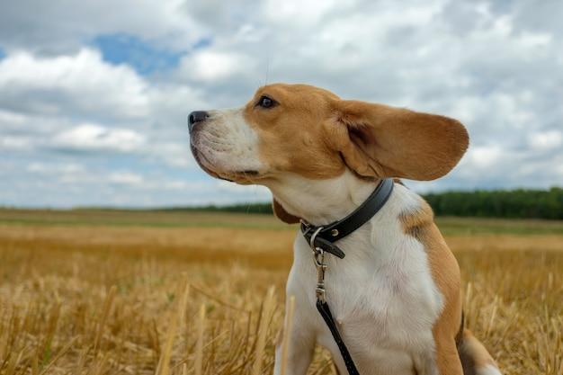 Hondenportret beagle op het glooiende tarweveld in zomerdag