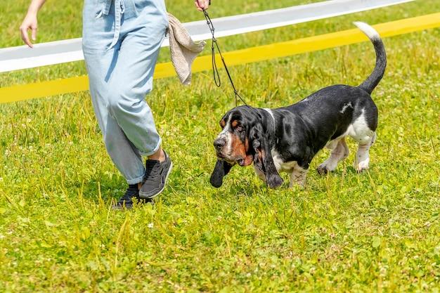 Hondenras basset hound op een wandeling naast zijn minnares