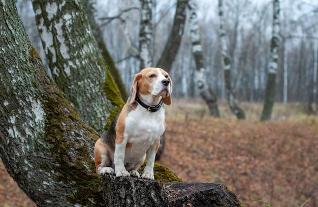 Hondenras beagle grappig zittend op een boomstronk in de herfst park