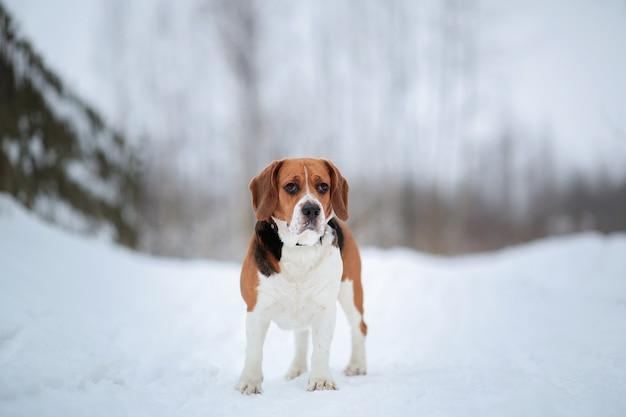 Hondenras beagle wandelen in winter woud