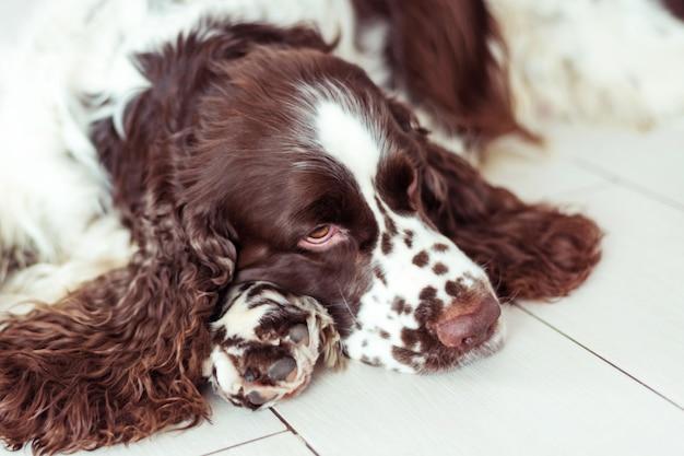 Hondenras engelse springerspaniël ligt op de grond en wacht op zijn familie, het huis van de eigenaar.