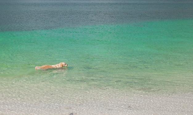 Hondenras golden retriever zwemt in turquoise zeewater