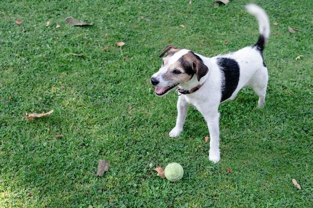 Hondenras jack russell terrier staat op het gazon en bewaakt de bal