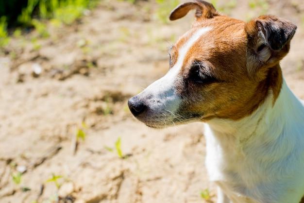 Hondenras jack russell terrier