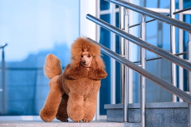 Hondenras kleine poedel perzik kleur staat in het winkelcentrum.