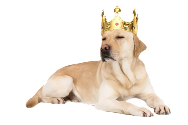 Hondenras labrador in een kroon